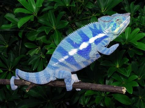 chameleon care 1000 images about reptiles on pinterest chameleons panthers and chameleon care