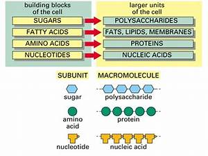 Simple Diagram Of Macromolecules  Proteins  Carbohydrates