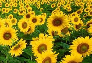 Mrs M's Maths Musings: Turing's Sunflowers