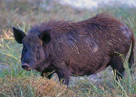 wild boar blue fat  thecountcom
