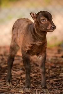 Rare Lowland Anoa Calf Born At Chester Zoo