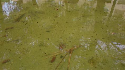 Un Bassin Plein De Larves De Moustiques
