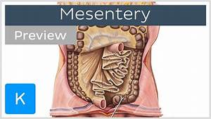 Mesentery  Organ And Functions  Preview  - Human Anatomy