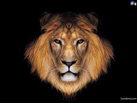 lion wallpaper wallpaper wide hd