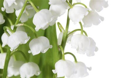 cuisiner les fleurs muguet tout ce qu 39 il faut savoir pour le cultiver