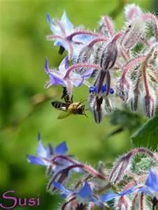 Pflanzen Im Juli : blau bl hende pflanzen und blumen bestimmen meine pflanzen pinterest blumen blaue blumen ~ Orissabook.com Haus und Dekorationen