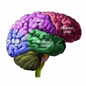 Lesson Plan  How Does The Brain Work