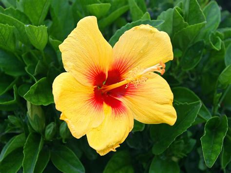 high plant stand yellow hibiscus flowers wallpapers beautiful flowers