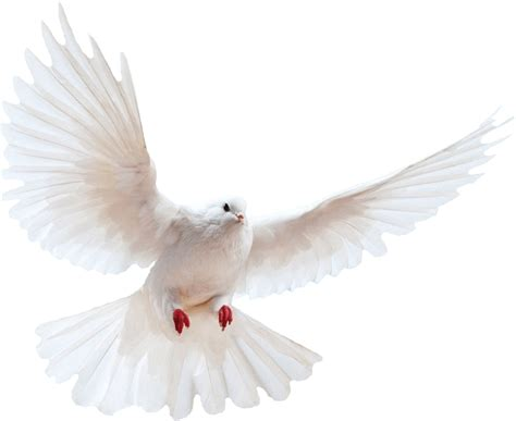 White dove transparent background bird ~ Free Png Images