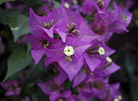bougainvillea überwintern im wohnzimmer bougainvillea pflegen tipps zur bl 252 te der drillingsblume gartenpflanzen garten