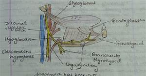 Medicowesome  Extrinsic Muscles Of The Tongue