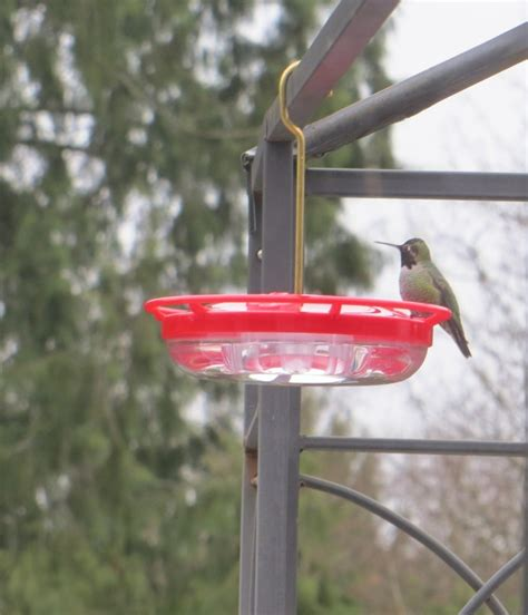 hummingbirds over winter in b c caramel parsley