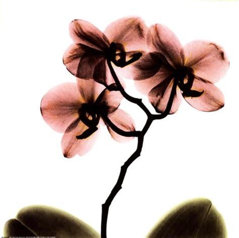 crystal flowers  ray orchid fine art print  albert