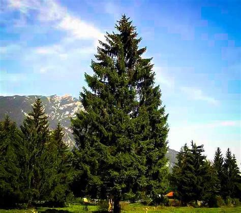 norway spruce  sale   tree center