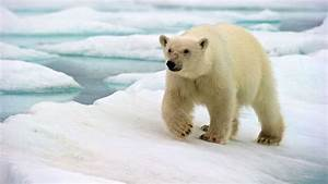 Polar Bear U0026 39 S Death Raises Questions About Sustainable