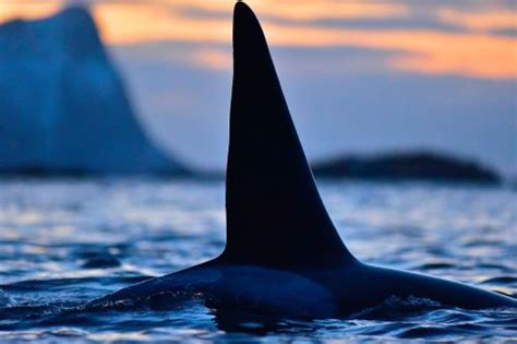 Passionate About Orcas