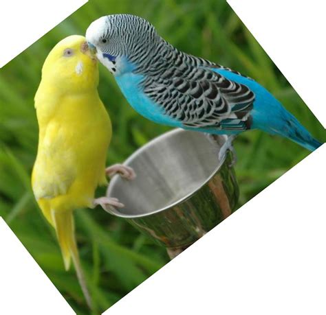 budgie bird budgie bird