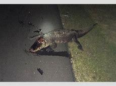 Florida woman rolls SUV after hitting 9foot gator on I75