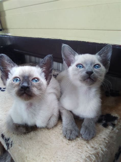 Kittens For Sale by Siamese Kittens For Sale Lechlade Gloucestershire