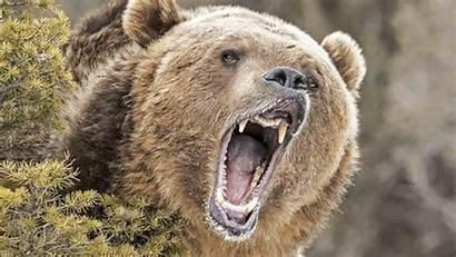 Grizzly Bear Spray Yellowstone Idaho Attacking West