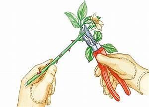 Rosen Selber Ziehen : ber ideen zu rosen pflanzen auf pinterest winden ~ Lizthompson.info Haus und Dekorationen