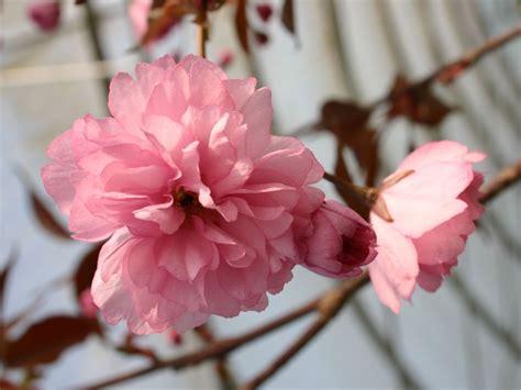 Japanische Hänge Nelkenkirsche by Japanische Nelkenkirsche Royal Burgundy 174 Prunus