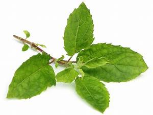 30 Health Benefits Of Holy Basil Leaf  Amazing Sources