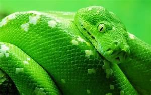 Anaconda Green Snake Big Hd Wallpaper 8448 : Wallpapers13.com