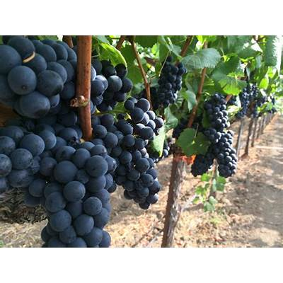 Napa Valley Wine Grape Harvest Season 2014 Underway