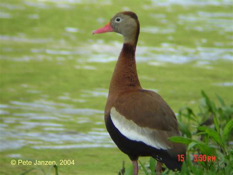 types of ducks animals world indian animals of black bellied whistling duck poster