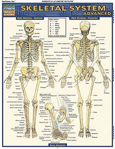 Barcharts Skeletal System  Advanced Quick Study Guide