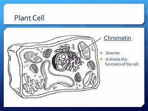 Plant animal cells ppt