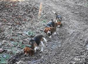 Skyview's Beagles Rabbit Hunting With Ron Asbury, Ranger ...