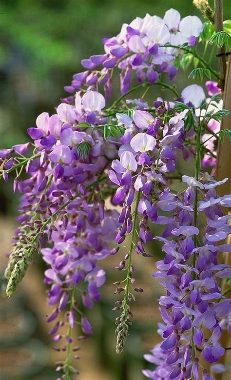 purple flowers that grow on vines wisteria vine for the patio landscape a magnificent swirl of bright colors