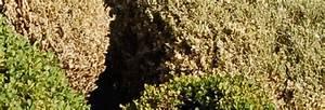 Pyrale Du Buis Traitement Bio : traitement pyrale du buis conseils coaching jardinage des conseils pour votre jardin ~ Melissatoandfro.com Idées de Décoration