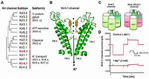 Molecular Structure And Channel Properties Of Kir4 1