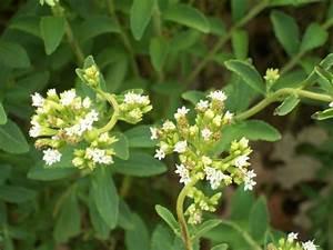 Pflanze Mit S : backen mit stevia wissenswertes ber die stevia pflanze ~ Orissabook.com Haus und Dekorationen