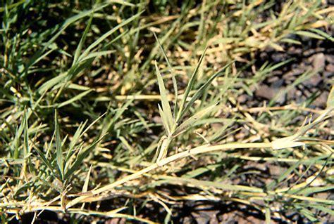 Bermudagrass (cynodon Dactylon)