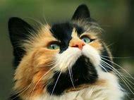 Calico Cat Spirit Animal