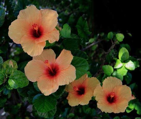 significato ibisco significato dei fiori ibisco