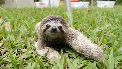 Sloth Images When A Sloth Chases You