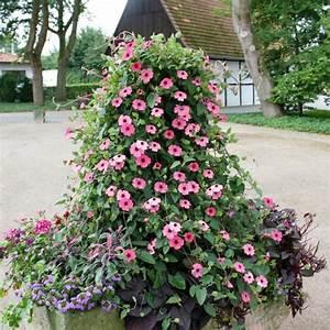Winterharte Kübelpflanzen Schattig : rosa susanne rose sensation von g rtner p tschke ~ Michelbontemps.com Haus und Dekorationen
