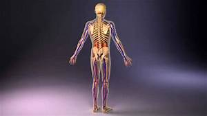 Human Anatomy Male 3d Review