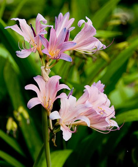 lilies pictures and names image gallery names of lilies