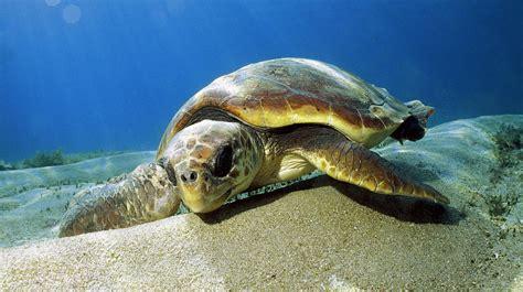 video une tortue retrouve la m 233 diterran 233 e pour aider les