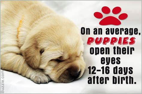 when do puppies open there during which stage of growth do puppies open their eyes