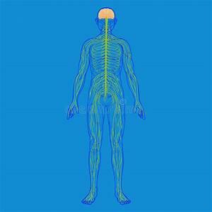 Autonomic Nervous System Stock Illustrations  U2013 65