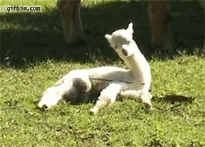 20 GIFs of Animals Falling Asleep - No More | Guff