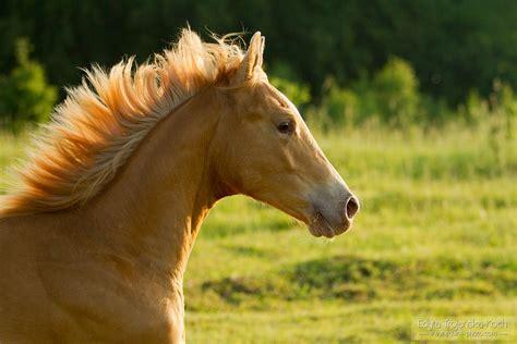 Quarter Horses - Edyta Trojańska-Koch