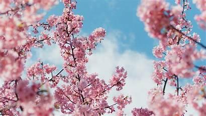 Blossom Cherry 4k Wallpapers Plant Flowers Desktop